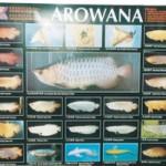 PO-AROWANA